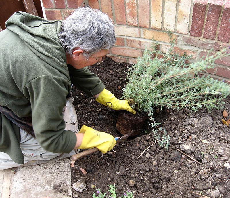 Planting-rosemary